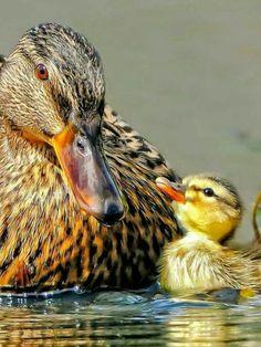 A Pata mãe como patinho filhinho!