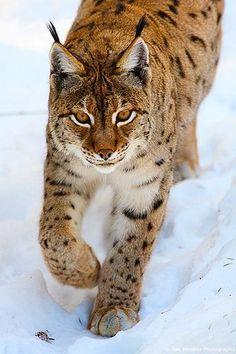 Le lynx d'Eurasie, Lynx d'Europe ou Lynx boréal est presque deux fois plus grand que celui d'Amérique du Nord. Mais les proportions du corps restent les mêmes. Les mâles et les femelles ont souvent un collier de poils longs autour du cou et sous le menton, aussi appelé des favoris.