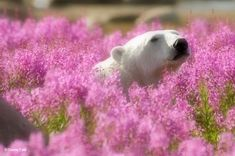 Adorable Polar Bear Plays in Flower Fields Canadian photographer Dennis Fast took advantage of his stay at the Canadian lodge Churchill Wild in Manitoba to capture this rare sight. Pictures Of Polar Bears, Champs, Rare Photos, Landscape Photos, Animal Kingdom, Arctic, Fields, Cool Pictures, Cute Animals