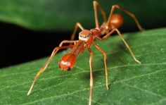 The Kerengga Ant-like Jumper(Myrmarachne plataleoides) mimics the ant species 'Oecophylla smaragdina', in appearance and behavior, living in bushes and trees where there are colonies of this ant species, which she copies. This gives her protection, since the ants have a painful sting, scaring away predators, and also makes the spider seem more harmless, reaching closer to their prey.