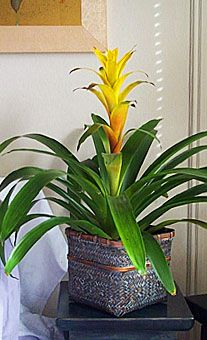 Bromeliads - Cinnabar and Gold Ideas for when I move my bromeliad indoors this winter
