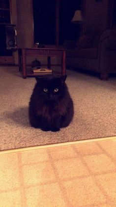 My cat is literally just a fur ball with eyes #aww #cute #cutecats #dinkydogs #animalsofpinterest #cuddle #fluffy #animals #pets #bestfriend #boopthesnoot
