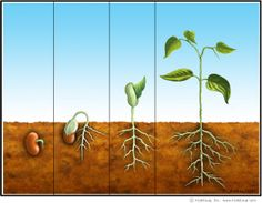 From Seed to Plant Activities | KidsSoup