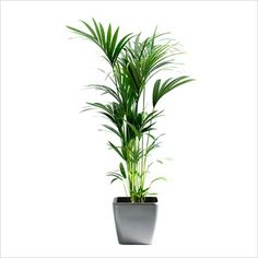 Tropical House Plants tropical house plants, delivered in brooklyn ny, s: rubber plant