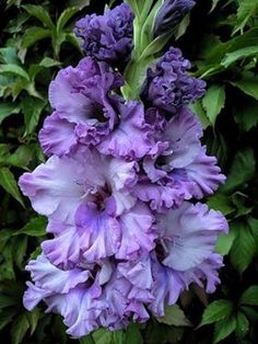 Gladiolus 'Gates of Paradise'