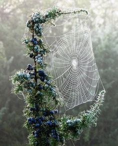 ✯ Spider Web in Blueberry Branches