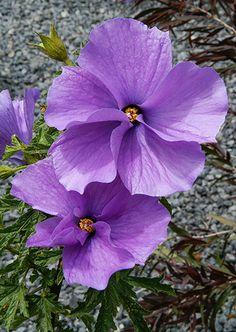 Hello Hello Plants, Daisy Field, Snow In Summer, Small Shrubs, Australian Garden