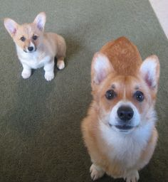 The Daily Corgi: Kaiser and Scout #corgi