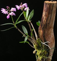 Discover everything you need to know about mounting orchids, both outside as well as inside, in this article by Ryan Levesque, author of Orchids Made Easy.