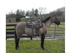 8YO Grulla Quarter Horse Mare - $1000 (Owingsville, KY)
