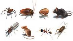 Pest is any living organism that is invasive troublesome nuisance destructive detrimental to animals plants, humans, and human concerns. In most cases pest is specifically taken as an animal,  thirstypestcontrol.wordpress.com/2016/02/08/pest-control-services-brisbane-hosts-the-best/