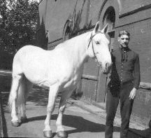 Chubby was the last Rochester, New York, fire horse. He retired in 1926. A stunning white Percheron, he was the town favorite and struck many a pose.