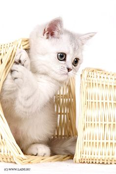 white kitten cat in a Basket Case Kitty Baby Cats, Baby Animals, Funny Animals, Cute Animals, Pretty Cats, Beautiful Cats, Neko, Kittens Cutest, Cats And Kittens