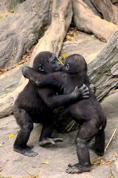 Gorilla Baby Hug Party ~ The photographer writes, baby Gorillas at the Bronx Zoo hug it out after a game of tag around the fallen tree stump. The Animals, Cute Baby Animals, Funny Animals, Wild Animals, Smiling Animals, Party Animals, Primates, Mammals, Animal Hugs