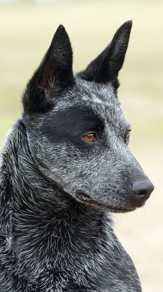 Grey and black Australian cattle dog blue heeler. One of the most healthy dog breeds. Pointy ears and alert eyes.