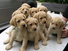 omg adorable, but that many lab puppies would mean nothing is left in one piece in your house lol!!