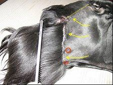 -Repinned-Giant Schnauzer grooming guide - Clip the side of the head