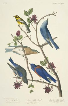 'Arctic Blue Bird' from 'The Birds of America' (1824-1838). After John James Audubon (1785–1851), Robert Havell, Jr.Image and text courtesy MFA Boston.