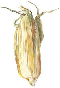 Corn Cob | Botanical Illustration