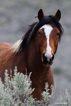 Wild Horse, Stallion (by Ken Archer)