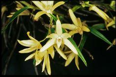 Dendrobium moniliforme