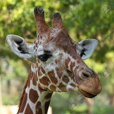 13603450-close-up-of-giraffe-face--Stock-Photo-giraffe.jpg 1,300×1,300 pixels