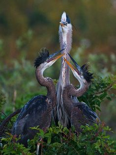 Great Blue Heron Feeding Young, Venice, Florida, by Sean Crane