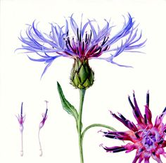 Centaurea Folio illustration agency, London, UK | Carolyn Jenkins - Watercolour ∙ Painterly ∙ Botanical ∙ Horticultural ∙ Photorealism - Illustrator