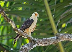 yellow-headed caracara (