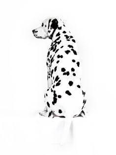 De D van Dalmatier, hoe krijgt de natuur dat toch voor elkaar?