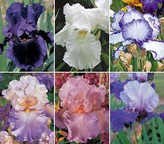 Iris; great basic info on bearded iris, beardless iris, and crested iris.