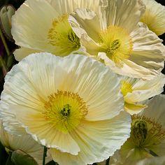 Sister-in-law: white poppy posy Poppy Bouquet, Dahlia Bouquet, Square Art, Tile Art, Mellow Yellow, Pansies, Yellow Flowers, Flower Art, Beautiful Flowers