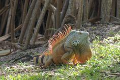 Green Iguana (Iguana iguana).  I love it when they are orange!  This one's from Florida.