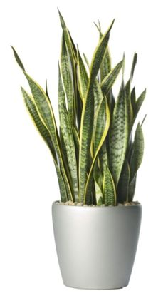 Mother In Laws Tongue - Sansevieria