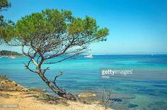 09-16 Aleppo Pine (Pinus halepensis) on a rocky shore against... #porquerolles: 09-16 Aleppo Pine (Pinus halepensis) on a… #porquerolles