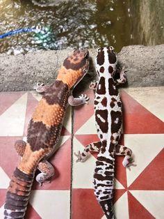 Funny Animal Jokes, Funny Animals, Cute Animals, Fat Tailed Gecko, Reptile Pets, Leopard Geckos, Lizards, Fungi, Habitats