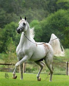 """Shakir El Marwan (Marwan Al Shaqab x Om El Shadina) A 2005 Arabian stallion with a very rare """"bloody shoulder"""" marking."""