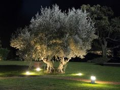 The Best Trees to Plant Near Pools: Fruitless Olive Backyard pool yards Discover the Best Trees to Plant Around Your Pool Backyard Pool Landscaping, Farmhouse Landscaping, Landscaping Trees, Garden Trees, Trees To Plant, Landscape Lighting, Outdoor Lighting, Lighting Ideas, Baumgarten