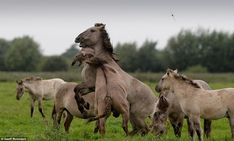 The koniks, which share many characteristics of the now-extinct Tarpan, the original wild horse of Europe¿s forests, are one of the largest animals ever to be introduced in to the UK