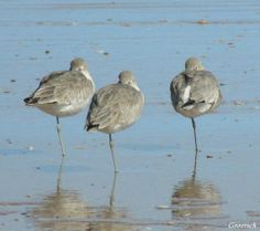 Shorebirds. Outer Banks. The three amigos at nap time. I usually see these little guys running around in the shore break searching for food. Today however, they were napping on the job it seems.