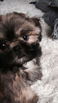 Shih Tzu Puppy. #shihtzu #tzubaby #doggielashes
