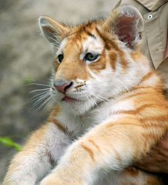 Golden Tiger, oh how I love him. Look at the size of those paws!  He's going to be huge~