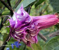 Datura at Longwood Gardens (photo by: ourfairfieldhomeandgarden.com)