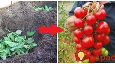 Dajte čerstvú žihľavy do každej jamy: Keď zistíte, čo to urobí s koreňmi rajčín, nebudete váhať ani sekundu! Garden Inspiration, Flora, Remedies, Gardening, Fruit, Vegetables, Belle, Greenhouses, Plants