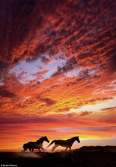 ♂ Sunset Horses Running by Raissa Scholz Portela orange sunset cloud