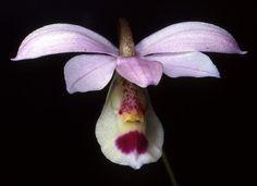 Orchid: Barkeria barkeriola