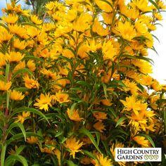 Yellow Helianthus maximiliana Santa Fe, Helianthus maximiliana Santa Fe, Maximilian's Sunflower