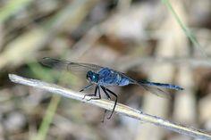 Dragonfly blue - Libelula azul by Pedro Francisco  Condés de la Torre on 500px