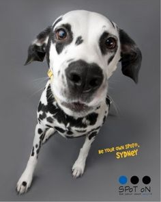 Sydney believes in finding your own SPoT!  She is our Signature SPoT!  www.beyourownspot.com  #dalmatian