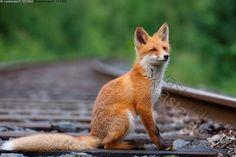 kettu - Google-haku Having No Friends, Red Fox, Foxes, Earth, Animals, Google, Animales, Animaux, Animal
